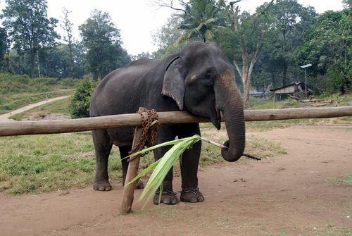 Elephant topslip